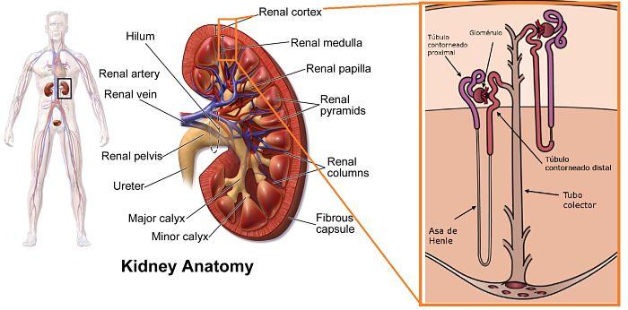 Estructura de un riñón humano
